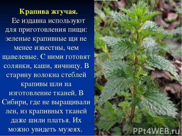 Крапива жгучая. Ее издавна используют для приготовления пищи: зеленые крапивные щи не менее известны, чем щавелевые. С ними готовят солянки, каши, яичницу. В старину волокна стеблей крапивы шли на изготовление тканей. В Сибири, где не выращивали лен…