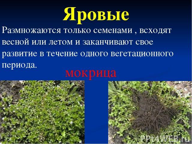 Яровые мокрица Размножаются только семенами , всходят весной или летом и заканчивают свое развитие в течение одного вегетационного периода.