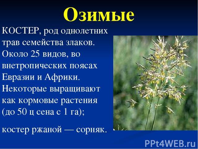 КОСТЕР, род однолетних трав семейства злаков. Около 25 видов, во внетропических поясах Евразии и Африки. Некоторые выращивают как кормовые растения (до 50 ц сена с 1 га); костер ржаной — сорняк. Озимые