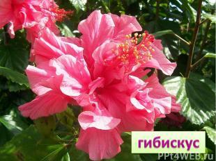 Китайской розой называют Цветок любви и страсти! Взгляни на красоту его Забудь п
