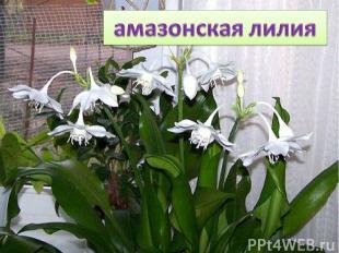 Стройный нежный стебелек, Среди зеленых листьев А на нем цветы цветут, Белоснежн