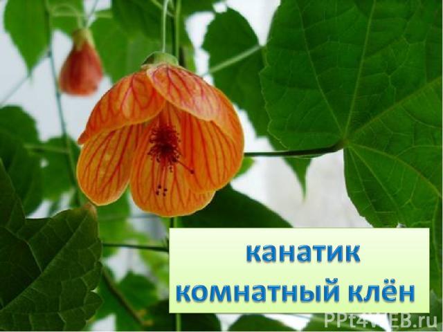 Виснет огненный цветок – Колокол без звона, Тонкий лапчатый листок, Видно взят у клёна.
