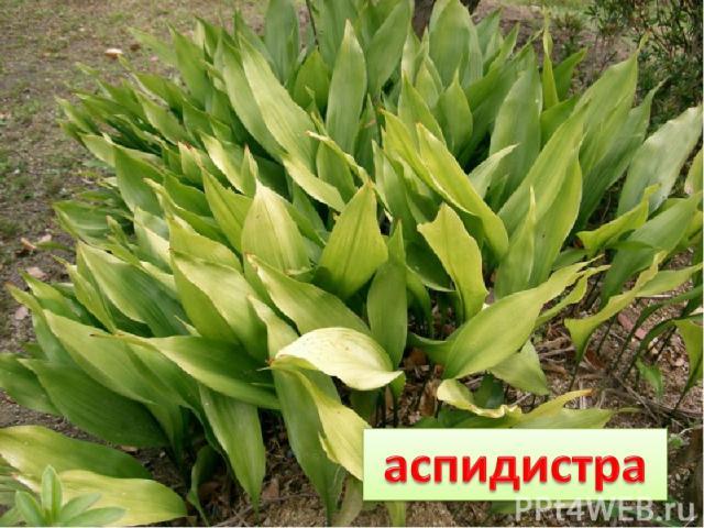 В банке трава В одном не права: В тени зеленеет, На солнце бледнеет.