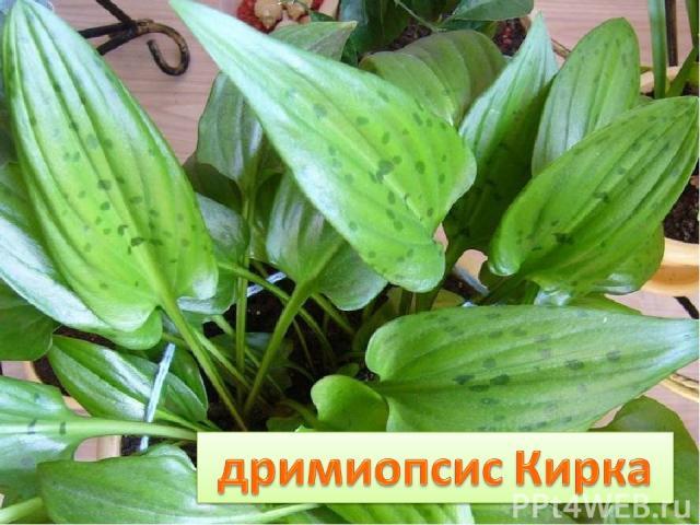 У луковицы дочки – Стреловидные листочки, Все они в веснушках И похожи летом на ….лягушек.