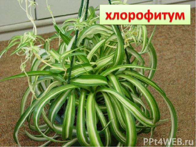 Хотели детишки от мамы удрать, Но мама сумела их всех удержать. Вот так и висят те пучки- малолетки. На нитях – зелёные растения- детки.