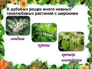 В дубовых рощах много нежных тенелюбивых растений с широкими листьями.