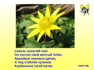 Сквозь сыпучий снег Он пустил свой жёлтый побег, Красивые лаковые щёчки, А под с