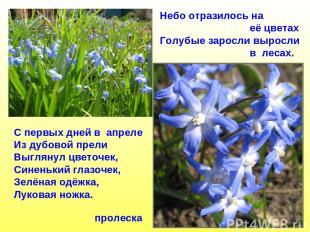 пролеска Небо отразилось на её цветах Голубые заросли выросли в лесах. С первых