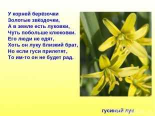 У корней берёзочки Золотые звёздочки, А в земле есть луковки, Чуть побольше клюк
