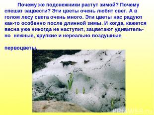Почему же подснежники растут зимой? Почему спешат зацвести? Эти цветы очень любя