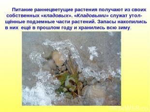Питание раннецветущие растения получают из своих собственных «кладовых». «Кладов