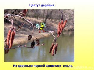 Из деревьев первой зацветает ольха. Цветут деревья.