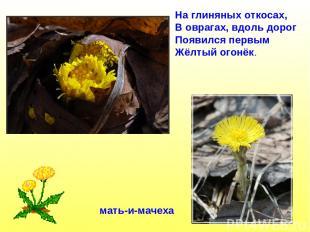 мать-и-мачеха На глиняных откосах, В оврагах, вдоль дорог Появился первым Жёлтый
