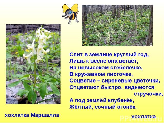 Спит в землице круглый год, Лишь к весне она встаёт, На невысоком стебелёчке, В кружевном листочке, Соцветие – сиреневые цветочки, Отцветают быстро, виднеются стручочки, А под землёй клубенёк, Жёлтый, сочный огонёк. хохлатка хохлатка Маршалла