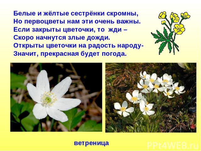 Белые и жёлтые сестрёнки скромны, Но первоцветы нам эти очень важны. Если закрыты цветочки, то жди – Скоро начнутся злые дожди. Открыты цветочки на радость народу- Значит, прекрасная будет погода. ветреница