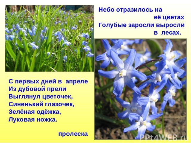 пролеска Небо отразилось на её цветах Голубые заросли выросли в лесах. С первых дней в апреле Из дубовой прели Выглянул цветочек, Синенький глазочек, Зелёная одёжка, Луковая ножка.