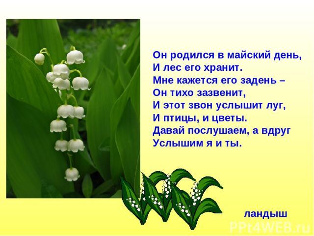 Он родился в майский день, И лес его хранит. Мне кажется его задень – Он тихо зазвенит, И этот звон услышит луг, И птицы, и цветы. Давай послушаем, а вдруг Услышим я и ты. ландыш