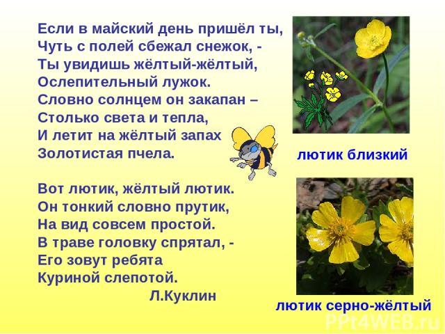Если в майский день пришёл ты, Чуть с полей сбежал снежок, - Ты увидишь жёлтый-жёлтый, Ослепительный лужок. Словно солнцем он закапан – Столько света и тепла, И летит на жёлтый запах Золотистая пчела. Вот лютик, жёлтый лютик. Он тонкий словно прутик…