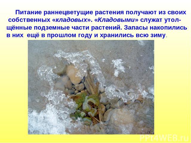 Питание раннецветущие растения получают из своих собственных «кладовых». «Кладовыми» служат утол- щённые подземные части растений. Запасы накопились в них ещё в прошлом году и хранились всю зиму.