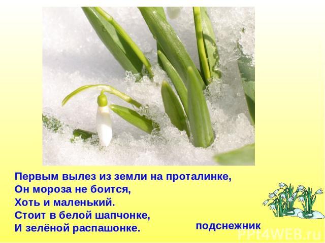 Первым вылез из земли на проталинке, Он мороза не боится, Хоть и маленький. Стоит в белой шапчонке, И зелёной распашонке. подснежник