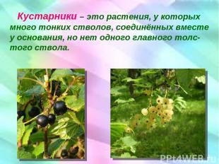 Кустарники – это растения, у которых много тонких стволов, соединённых вместе у