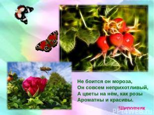 Не боится он мороза, Он совсем неприхотливый, А цветы на нём, как розы Ароматны