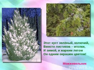 Этот куст зелёный, колючий, Вместо листиков – иголки, И зимой, и жарким летом Он