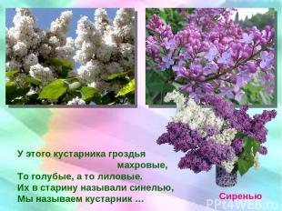 У этого кустарника гроздья махровые, То голубые, а то лиловые. Их в старину назы