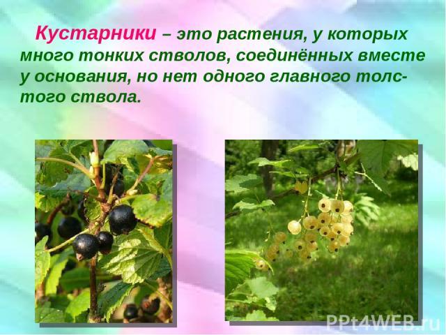 Кустарники – это растения, у которых много тонких стволов, соединённых вместе у основания, но нет одного главного толс-того ствола.