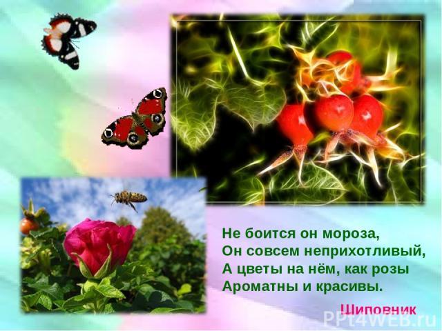 Не боится он мороза, Он совсем неприхотливый, А цветы на нём, как розы Ароматны и красивы. Шиповник