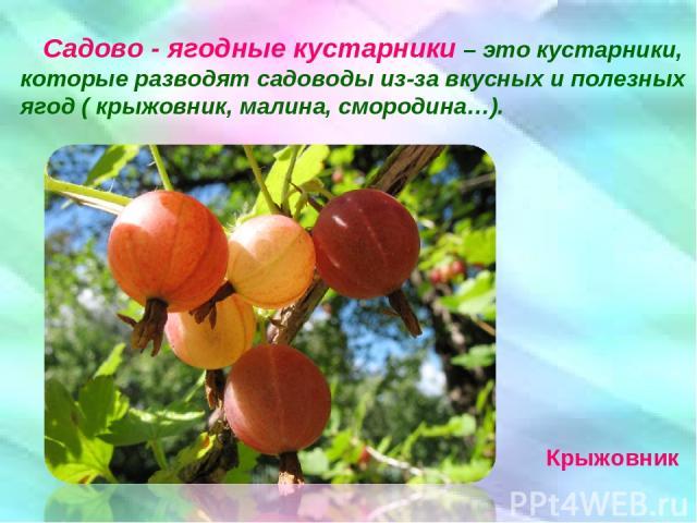 Садово - ягодные кустарники – это кустарники, которые разводят садоводы из-за вкусных и полезных ягод ( крыжовник, малина, смородина…). Крыжовник