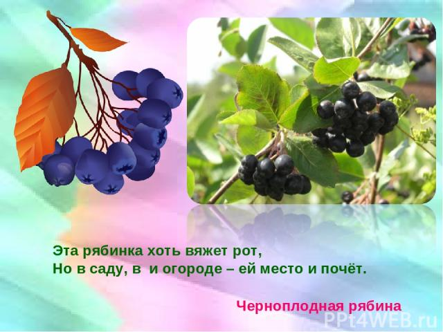 Эта рябинка хоть вяжет рот, Но в саду, в и огороде – ей место и почёт. Черноплодная рябина
