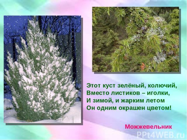 Этот куст зелёный, колючий, Вместо листиков – иголки, И зимой, и жарким летом Он одним окрашен цветом! Можжевельник