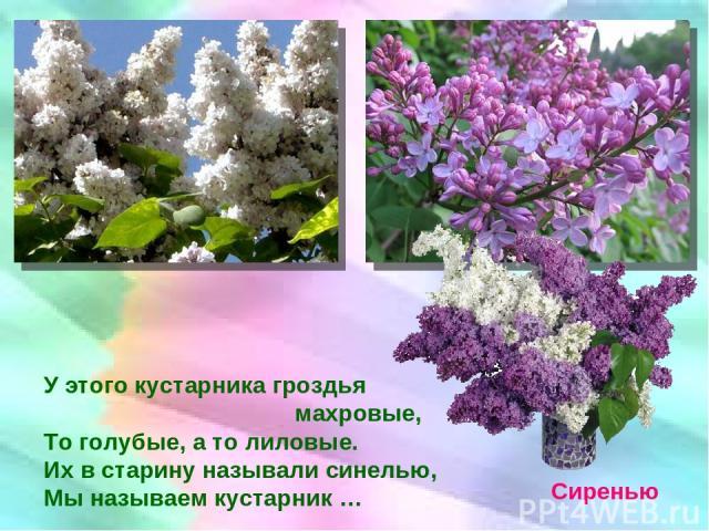 У этого кустарника гроздья махровые, То голубые, а то лиловые. Их в старину называли синелью, Мы называем кустарник … Сиренью
