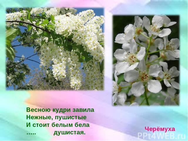 Весною кудри завила Нежные, пушистые И стоит белым бела ….. душистая. Черёмуха