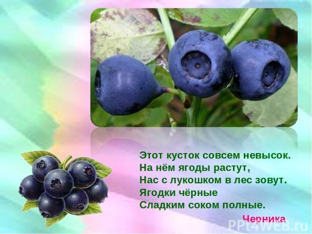 Этот кусток совсем невысок. На нём ягоды растут, Нас с лукошком в лес зовут. Ягодки чёрные Сладким соком полные. Черника