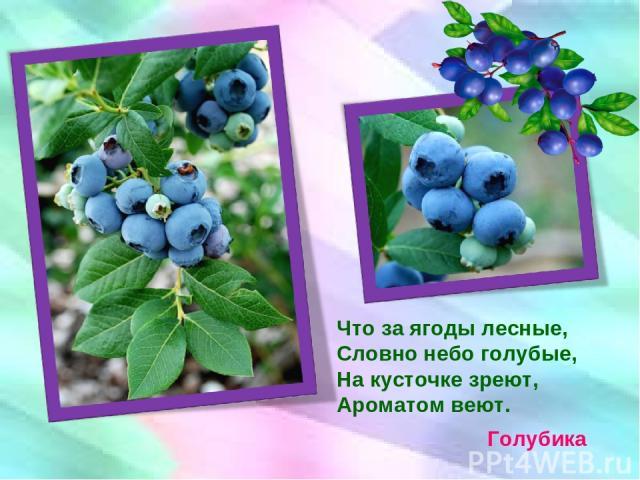 Что за ягоды лесные, Словно небо голубые, На кусточке зреют, Ароматом веют. Голубика