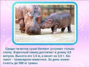 Среди гигантов суши бегемот уступает только слону. Взрослый самец достигает в дл