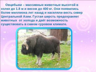 Овцебыки – массивные животные высотой в холке до 1.8 м и весом до 400 кг. Они по