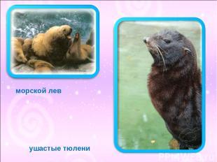 ушастые тюлени морской лев