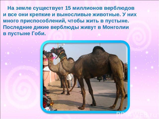 На земле существует 15 миллионов верблюдов и все они крепкие и выносливые животные. У них много приспособлений, чтобы жить в пустыне. Последние дикие верблюды живут в Монголии в пустыне Гоби.