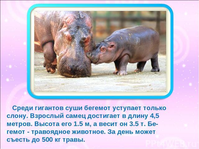 Среди гигантов суши бегемот уступает только слону. Взрослый самец достигает в длину 4,5 метров. Высота его 1.5 м, а весит он 3.5 т. Бе- гемот - травоядное животное. За день может съесть до 500 кг травы.