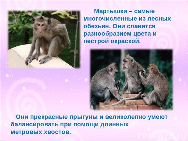 Мартышки – самые многочисленные из лесных обезьян. Они славятся разнообразием цвета и пёстрой окраской. Они прекрасные прыгуны и великолепно умеют балансировать при помощи длинных метровых хвостов.