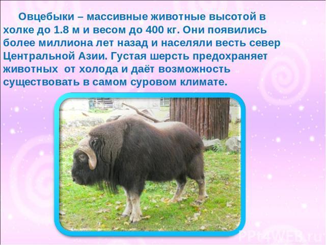 Овцебыки – массивные животные высотой в холке до 1.8 м и весом до 400 кг. Они появились более миллиона лет назад и населяли весть север Центральной Азии. Густая шерсть предохраняет животных от холода и даёт возможность существовать в самом суровом к…