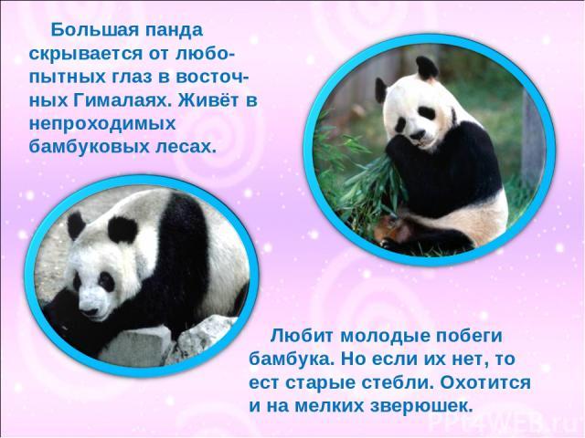 Большая панда скрывается от любо- пытных глаз в восточ- ных Гималаях. Живёт в непроходимых бамбуковых лесах. Любит молодые побеги бамбука. Но если их нет, то ест старые стебли. Охотится и на мелких зверюшек.