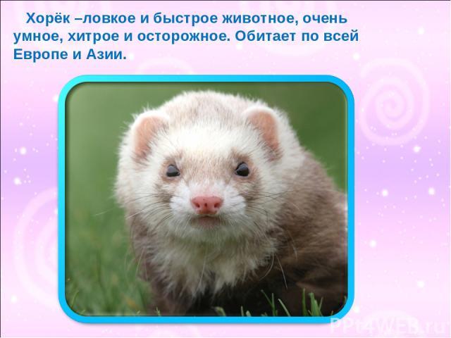 Хорёк –ловкое и быстрое животное, очень умное, хитрое и осторожное. Обитает по всей Европе и Азии.
