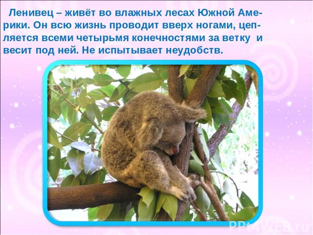 Ленивец – живёт во влажных лесах Южной Аме- рики. Он всю жизнь проводит вверх ногами, цеп- ляется всеми четырьмя конечностями за ветку и весит под ней. Не испытывает неудобств.