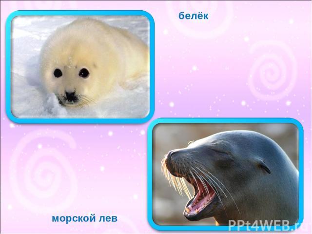 морской лев белёк