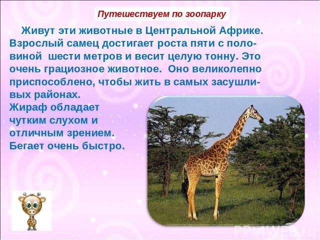 Живут эти животные в Центральной Африке. Взрослый самец достигает роста пяти с поло- виной шести метров и весит целую тонну. Это очень грациозное животное. Оно великолепно приспособлено, чтобы жить в самых засушли- вых районах. Жираф обладает чутким…