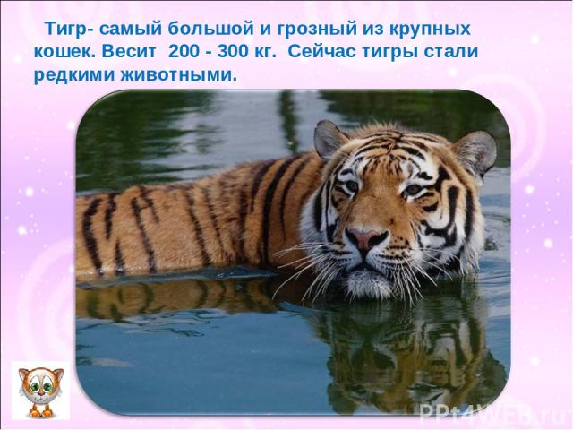 Тигр- самый большой и грозный из крупных кошек. Весит 200 - 300 кг. Сейчас тигры стали редкими животными.